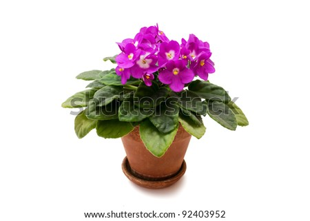 Violet in a pot on a white background