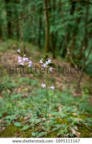 violet inflorescence of Campanula rapunculus plants  Photo stock ©