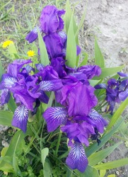 Violet iris on green grass. Iris flower. Green leaves of iris japonica in spring