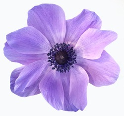 Violet isolated flower on white background