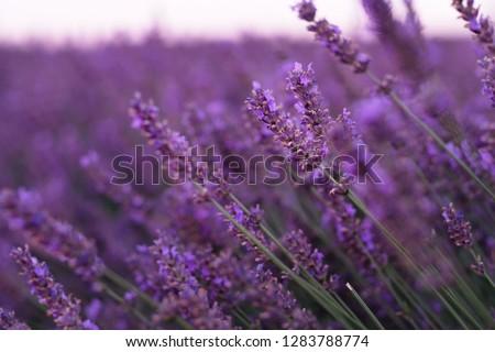 Violet lavender field at soft light effect for your floral background on horizontal web header or banner. Summer season in Provence - fresh lavanda flowers at pastel colors of ultraviolet tone. Foto stock ©