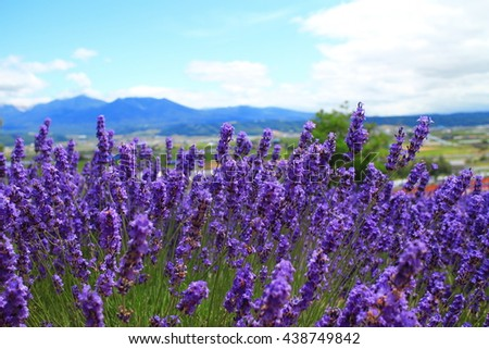 Violet lavender field in the summer with the mountain on background