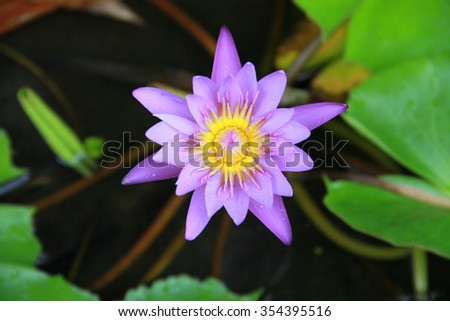 Free photos lotus flower in bloom nelumbo nucifera is botanical violet lotus flower in the pool top view has some drop water on the petal mightylinksfo