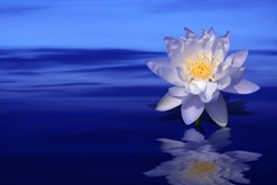 violet lotus flower on colorful water background