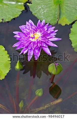 Violet Lotus in water and on water