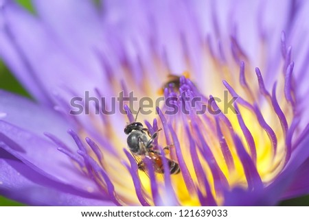 Violet lotus with bee
