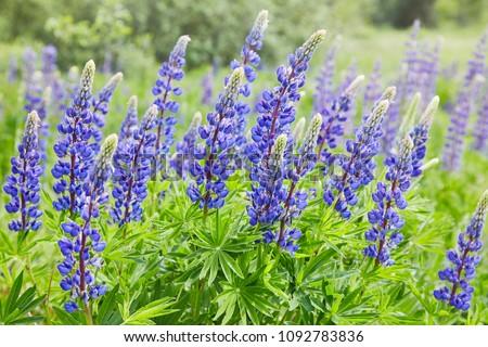 Violet lupines flowering in the meadow
