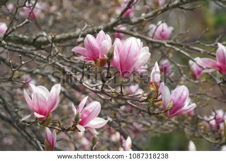 Magnoliapink Magnoliaviolet Magnoliabranches With Magnolia