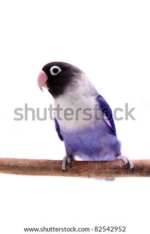 Violet masked lovebird on the white background