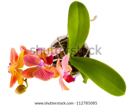 violet orchid branch isolated on white background