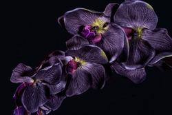 Violet orchid flower on black background close up.