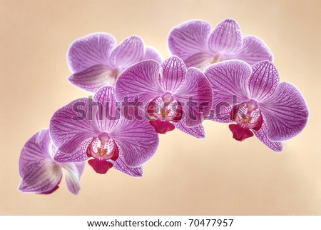 Violet orchid flowers isolated on background