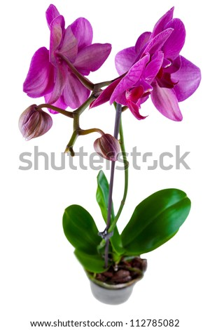 violet orchid in a pot isolated on white background