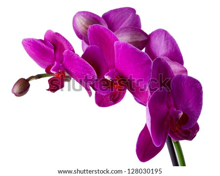 violet orchid in a pot isolated ...