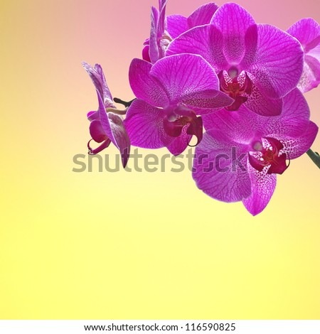 Violet orchid  yellow - pink background