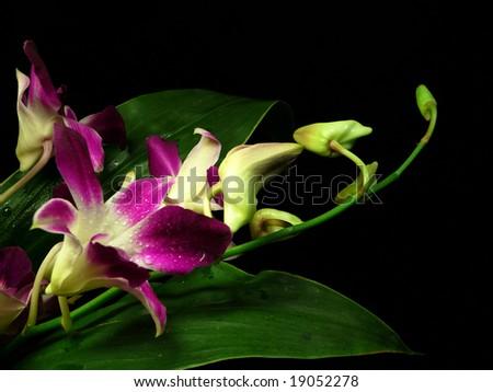 violet orchids in dew drops on black background