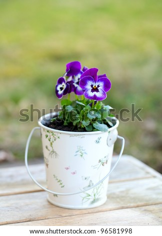 Violet pansies in a romantic bucket in the garden