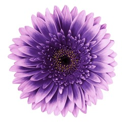 Violet-pink gerbera flower on a white isolated background with clipping path.   Closeup.   For design.  Nature.