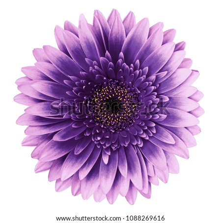 Photo of Violet-pink gerbera flower on a white isolated background with clipping path.   Closeup.   For design.  Nature.