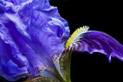 Violet purple iris background. Spring concept. Violet blue iris background.