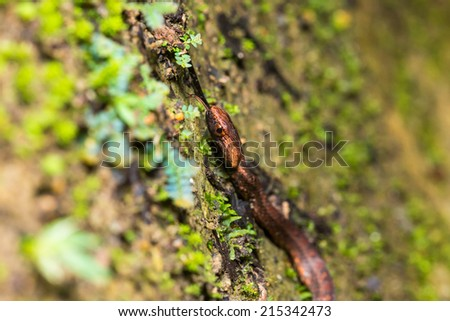 Violet-sanded snake - moving up and sticking out tongue