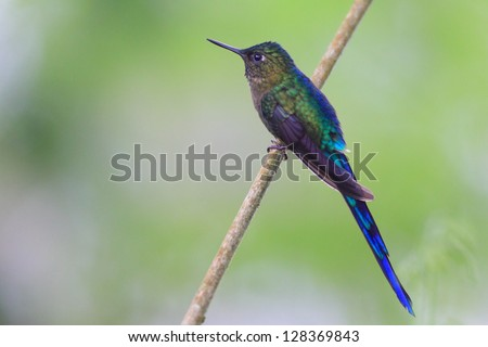 Violet-tailed Sylph (Aglaiocercus coelestis) #128369843