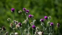 violet thistle flowers blooming