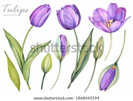 Violet tulips on a white background. Spring flowers. Watercolor illustration. Stock fotó ©
