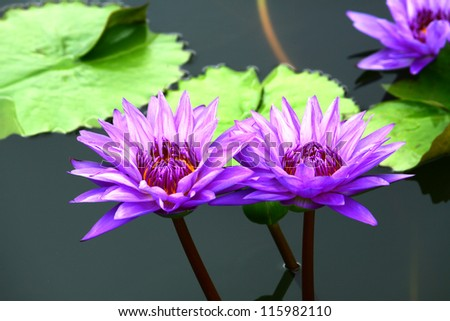 Violet water lily on the pond.