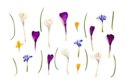 Violet, white, yellow crocuses (Crocus vernus) and blue Iris persica (Persian Iris, bulbous iris) on a white background. Top view, flat lay.
