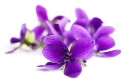Violets in soft focus, isolated on white background.