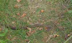 Viper in autumn. Snake crawls, crossing my path Scientific name - Vipera berus. On sides of snake are characteristic zigzag stripes, snake's head is clearly visible