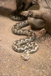 Vipera ammodytes also known as horned viper, long-nosed viper, nose-horned viper, sand viper creeps along the sand