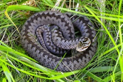 Vipera berus, also known as the common European viper, is a venomous snake that is extremely widespread and can be found throughout most of Western Europe and as far as East Asia.
