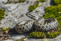 Vipera berus, the common European adder or common European viper, is a venomous snake that is extremely widespread and can be found throughout most of Western Europe and as far as East Asia.