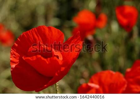 virágzó virágszirom nyári piros szépség Stock fotó ©