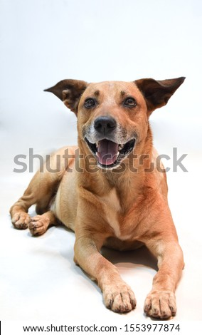 Vira lata caramelo, lying on the floor looking concentrated with open ears and showing tongue mixed breed dog isolated on white background Zdjęcia stock ©