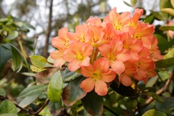 Vireya rhododendrons in rainforest. Close-up photo of red and yellow blooming flowers in natural conditions for botany and botanical gardening issues.