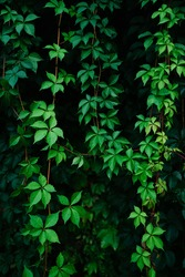 Virginia creeper: a species of Creeper, also known as Five leaved ivy, Woodbine, American ivy, Five finger, its botanical name is Parthenocissus quinquefolia.