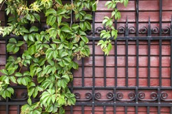 Virginia creeper, brown wood fence with forged metal decorative grid.