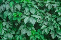 Virginia creeper green natural wall. Natural texture of leaves.