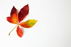 Virginia creeper leaf,five leaved ivy leaf isolated on a white background.Parthenocissus quinquefolia,Yellow,red and orange leaf.Top view,copy space, overhead,above,flat lay.Colorful leaf isolated.