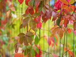 Virginia creeper leaves (Parthenocissus tricuspidata) in autumn on the fence with selective focus.