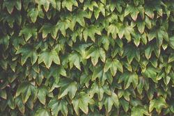 Virginia creeper Parthenocissus tricuspidata in the garden. Virginia Creeper plant or Wild Grape texture background
