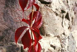 Virginia creeper red leaves on grey wall background