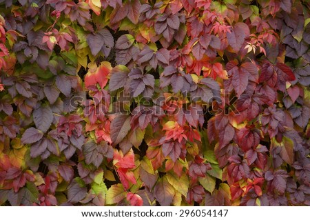 Virginia Creeper\'s leaves. Autumn colorful leaves. Yellow to dark leaves.