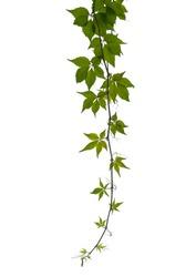 Virginia creeper twig isolated