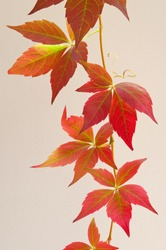 Virginia Creeper vine leaves placed on a cream coloured background. Parthenocissus also called Boston Ivy.