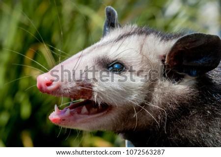 Virginia Opossum (Didelphis virginiana) in Los Angeles, California, USA