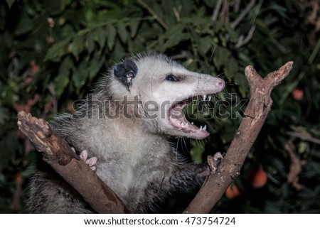 Virginia Opossum (Didelphis virginiana) Los Angeles, California, USA